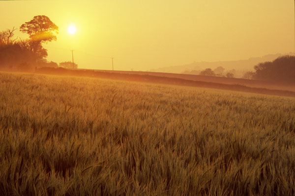 Barley at sunrise